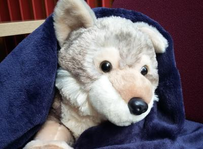 Virginia, the wolf, in a library blanket